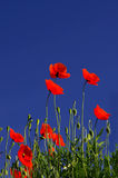 Poppy flowers in front of a dark blue sky Royalty Free Stock Photos