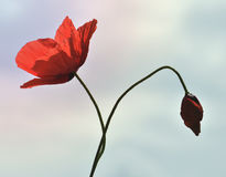 Poppy flowers. Gentle poppy flowers on the bright background Royalty Free Stock Image