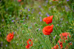 Poppy flowers among the grass. Closeup of few big poppy flowers on blurred background of green meadow Royalty Free Stock Photos