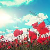 Poppy flowers on the green background on field in sunny day. rural landscape royalty free stock photo