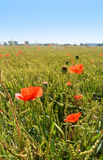 Poppy flowers on green field in sunny day. Some poppies on green field in sunny day Stock Photo