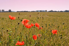 Poppy flowers on green field in sunny day. Some poppies on green field in sunny day Royalty Free Stock Photo