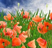 poppy flowers, green grass and cloudy blue sky royalty free stock images
