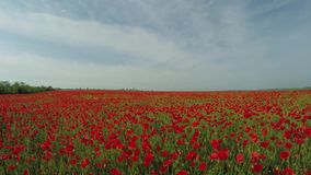 Poppy Flowers In Green Meadow roja almacen de video