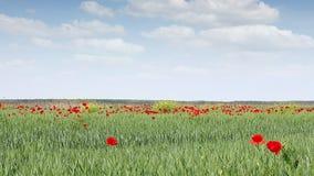 Poppy flowers on green wheat field stock footage