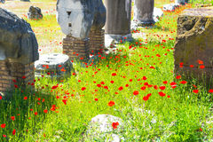 Poppy flowers growing in the Roman forum, Rome Royalty Free Stock Photo
