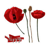 Poppy flowers, heads and lettering vector illustration. Color poppy flowers and seed head isolated on white background Royalty Free Stock Photography