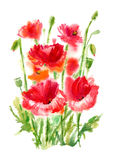 Poppy flowers and herbs. Summer flowers.Watercolor hand drawn illustration.White background Stock Photos