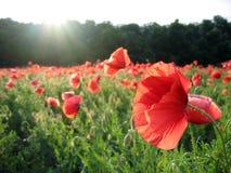 Poppy flowers  illuminated  sun rays. Sun rays shine through petals Royalty Free Stock Photos