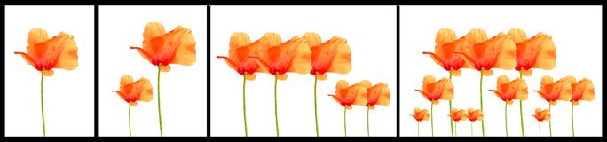 Poppy flowers increasing Stock Image