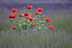Poppy flowers island Royalty Free Stock Images