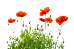 Poppy Flowers Isolated op Witte Achtergrond Royalty-vrije Stock Afbeelding