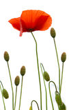 Poppy Flowers Isolated op Witte Achtergrond Stock Fotografie