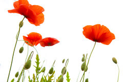 Poppy Flowers Isolated sur le fond blanc photo libre de droits