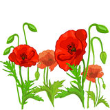 Poppy flowers isolated Stock Images