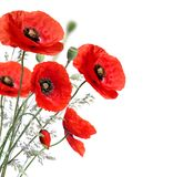 Poppy flowers. Isolated on a white background royalty free stock photos