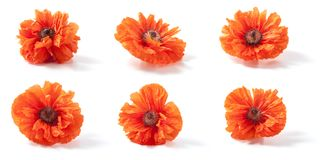 Poppy flowers isolated on white. Background. closeup Stock Images