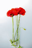Poppy flowers isolated in white background Stock Photography