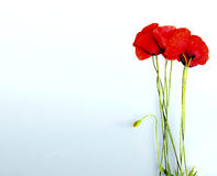Poppy flowers isolated in white background Royalty Free Stock Images