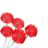 Poppy flowers isolated on white background. Stock Image