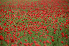 Poppy flowers. Landscape with field of red poppy flowers Royalty Free Stock Photo