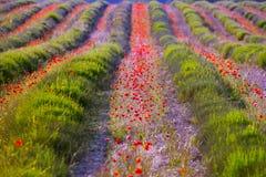 Poppy flowers in lavender field Stock Photos