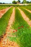 Poppy flowers in lavender field Stock Photo