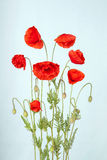 Poppy flowers Royalty Free Stock Photo