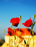 Poppy flowers meadow Royalty Free Stock Photos