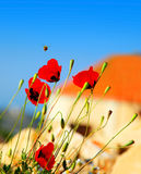 Poppy flowers meadow Royalty Free Stock Image