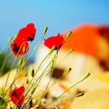 Poppy flowers meadow Stock Photography