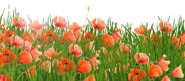 Poppy flowers - meadow stock photo