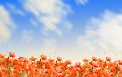 Poppy flowers meadow Royalty Free Stock Photos