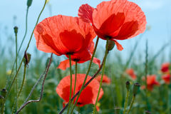Poppy flowers. Meadow with beautiful bright red poppy flowers in summer Stock Photography