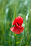 Poppy flowers. Meadow with beautiful bright red poppy flowers in summer Stock Photos
