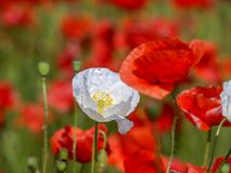 Poppy flowers meadow. Closeup of white poppy flower stock images