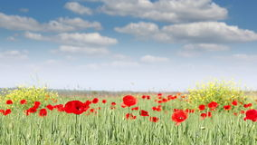 Poppy flowers meadow nature stock video