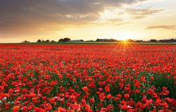 Poppy flowers meadow and nice sunset scene royalty free stock photography