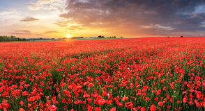 Poppy flowers meadow and nice sunset scene stock photography