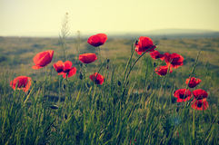 Poppy flowers on meadow Stock Photography