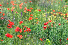 Poppy flowers meadow Stock Photography