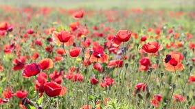 Poppy flowers meadow stock video footage