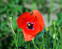 Poppy flowers on meadow Royalty Free Stock Photo