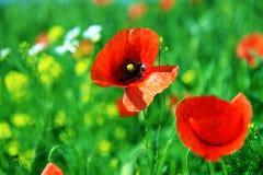Poppy flowers on meadow Stock Image