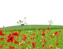 Poppy flowers meadow white background Stock Photos