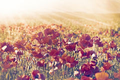 Poppy flowers in meadow Royalty Free Stock Images