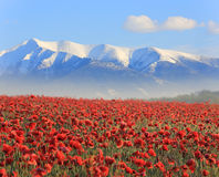 Poppy flowers an mountains Stock Photo