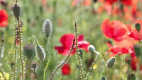 Poppy flowers nature background stock footage