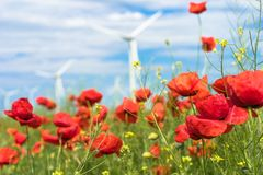 Poppy flowers in nature Royalty Free Stock Photo