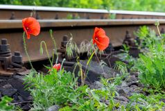 Poppy flowers near the railroad. Nice trip_ stock images